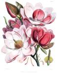 Magnolia_campbellii_flowers (2)